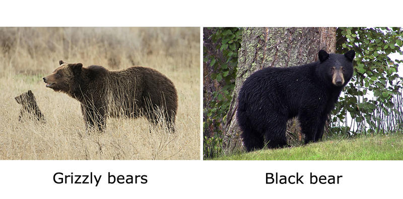 Grizzly bears vs. black bears.