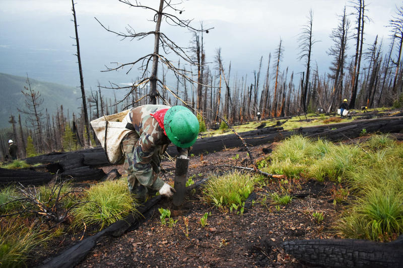 The U.S. Forest Service and Montana DNRC work to plant more than 13,000 whitebark pine seedlings in the Swan Mountain Range as a cooperative post-burn restoration project on June 18, 2018.