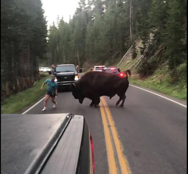 A screen capture from a video showing Raymond Reinke taunting a bison in Yellowston National Park. The video was shared on Facebook by Lindsey Jones.
