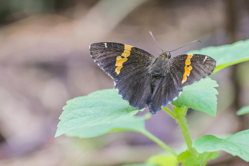 Golden-banded skipper.