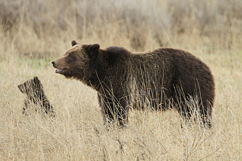 File photo: A grizzly bear sow and cub in Yellowstone National Park.