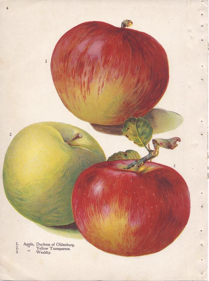 Apple cultivars Duchess of Oldenburg, Yellow Transparent and Wealthy. Alois Lunzer illustration, from Brown Brothers' Continental Nurseries Catalog, 1909.
