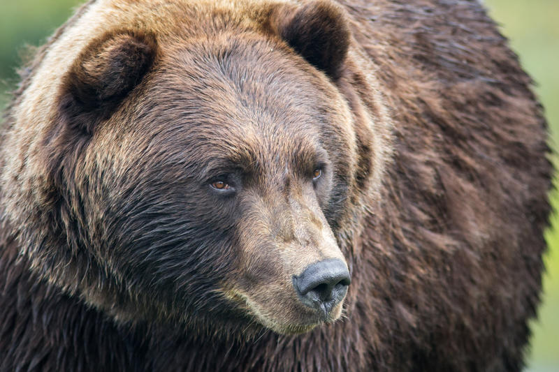 Grizzly bear. File photo.
