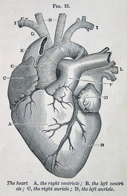 The anatomy of the heart.