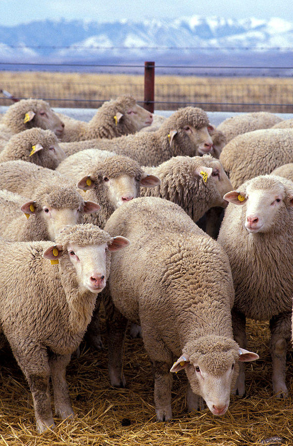 A sheep research flock at U.S. Sheep Experiment Station