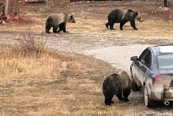 Grizzly bears roam near Polebridge seeking food sources.