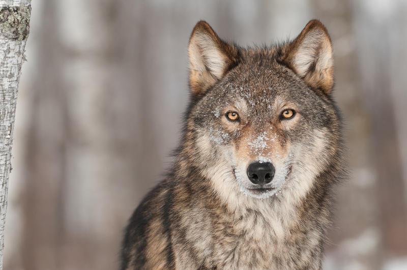 Gray wolf. File photo.