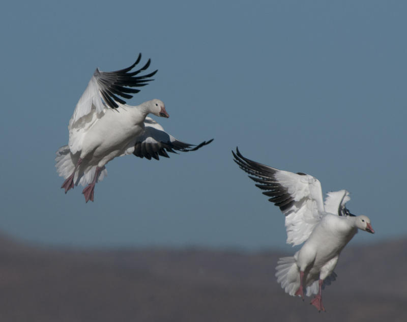 Snow geese coming in for a landing. File photo.