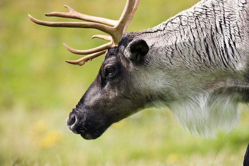 Caribou in Canada. Stock photo.