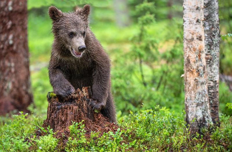 Girzzly bear cub.