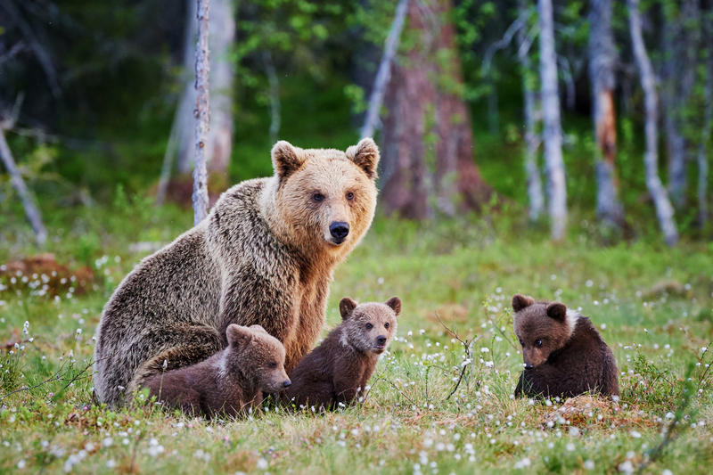 Grizzly bear family. File photo.