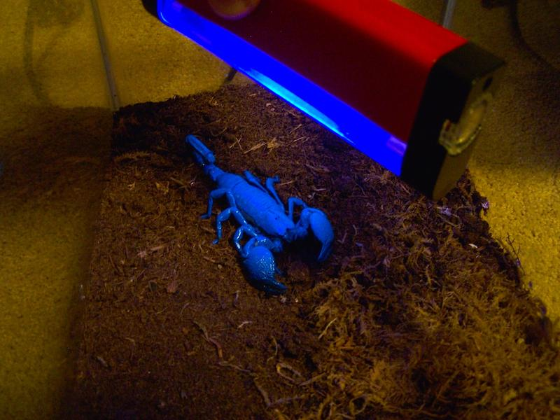 All scorpions glow a beautiful blue-green color under ultraviolet light.