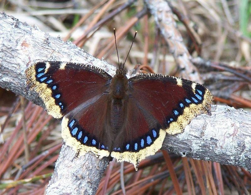 Mourning cloak butterfly.
