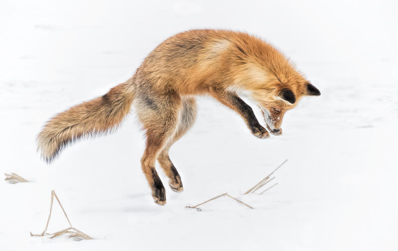 A fox in mid-air about to poke through the snow while hunting.
