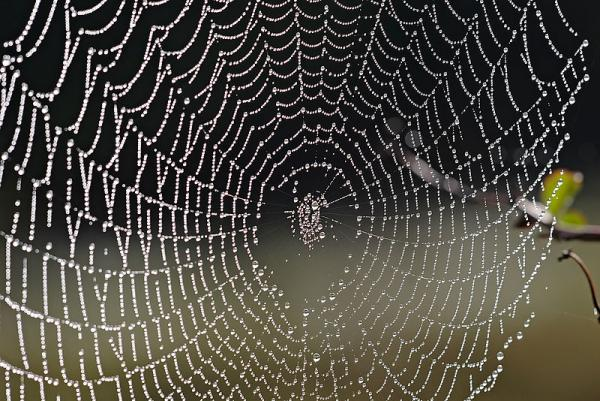 Spider web with dew drops, Swifts Creek, Victoria, Australia. (CC BY-NC)