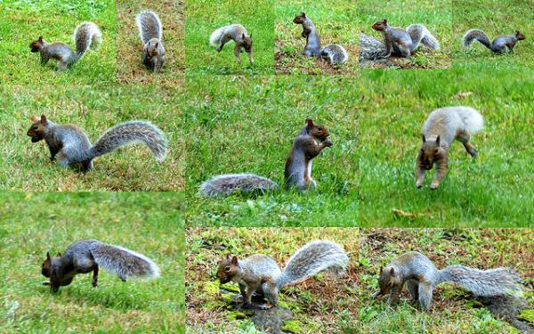 Collage of a grey squirrel burying a nut. (CC BY 2.0)