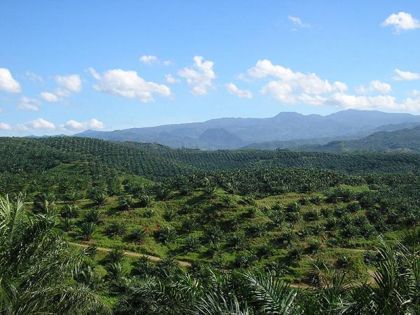 Palm oil plantation, Cigudeg, Bogor, Java, Indonesia. (CC BY 2.0)