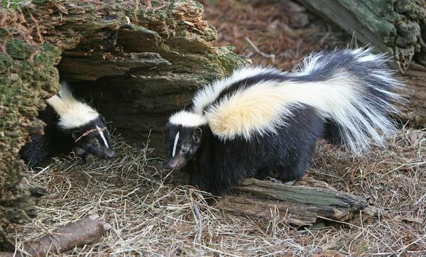 Striped Skunks (Mephitis mephitis) (CC BY 3.0)