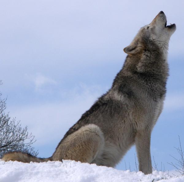 Dakota, a grey wolf at the UK Wolf Conservation Trust, howling on top of a snowy hill.