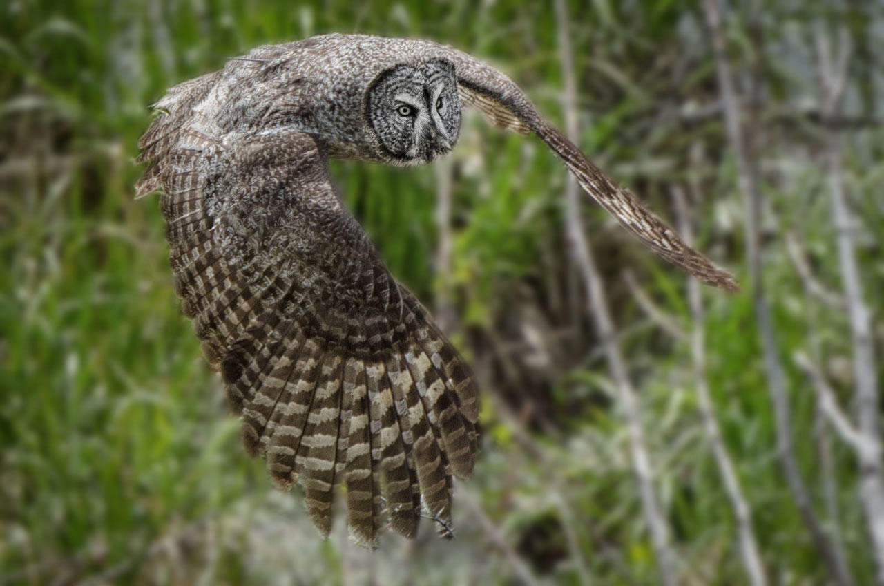 ghosts of the north woods great grey owls mtpr