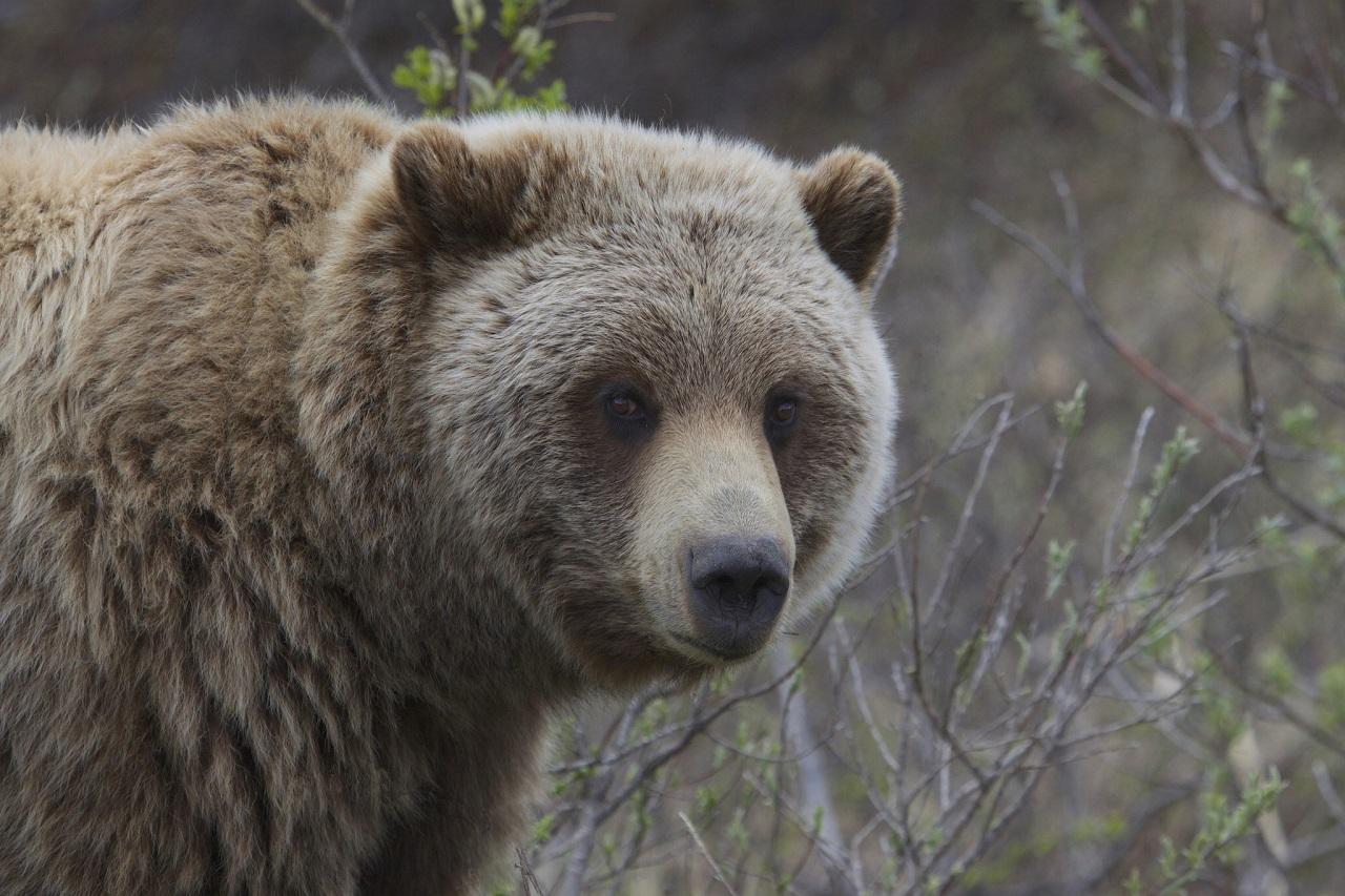 2000 Reward For Information On Dead Grizzly Near Libby Mtpr