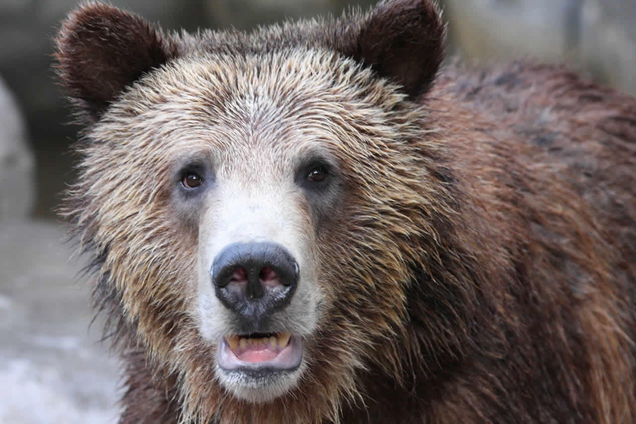 Greater Yellowstone Grizzly Bears To Lose Endangered