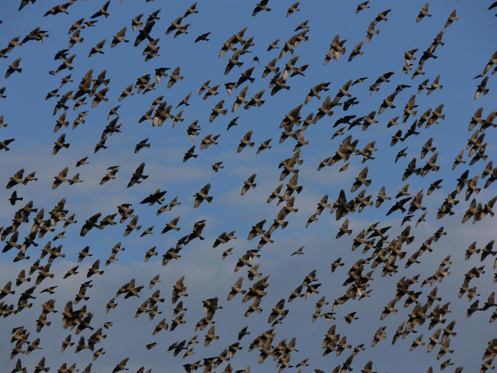 Four and twenty blackbirds flocked in a field mtpr for Plenty of fish kc