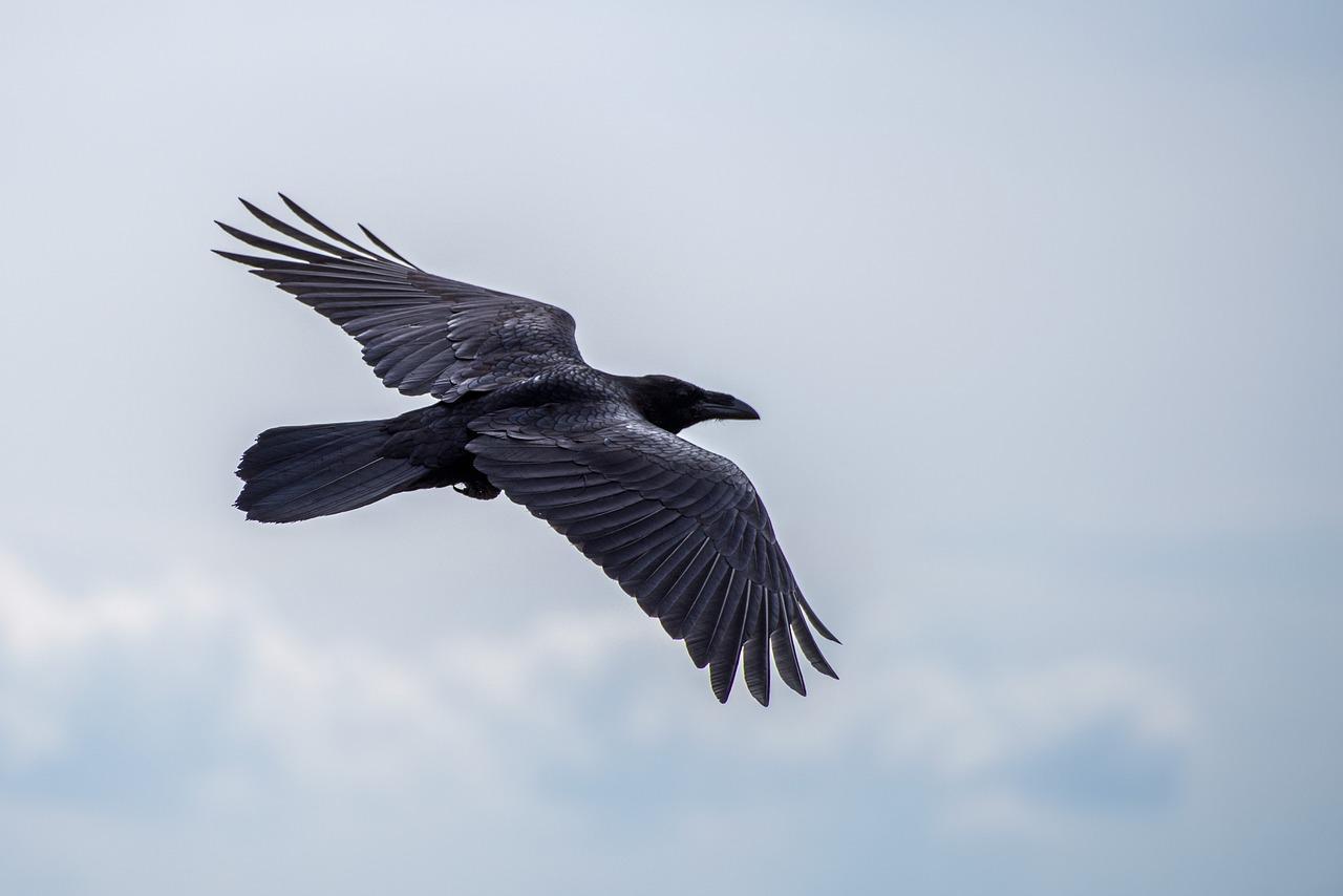 Ravens flying wallpaper - photo#44
