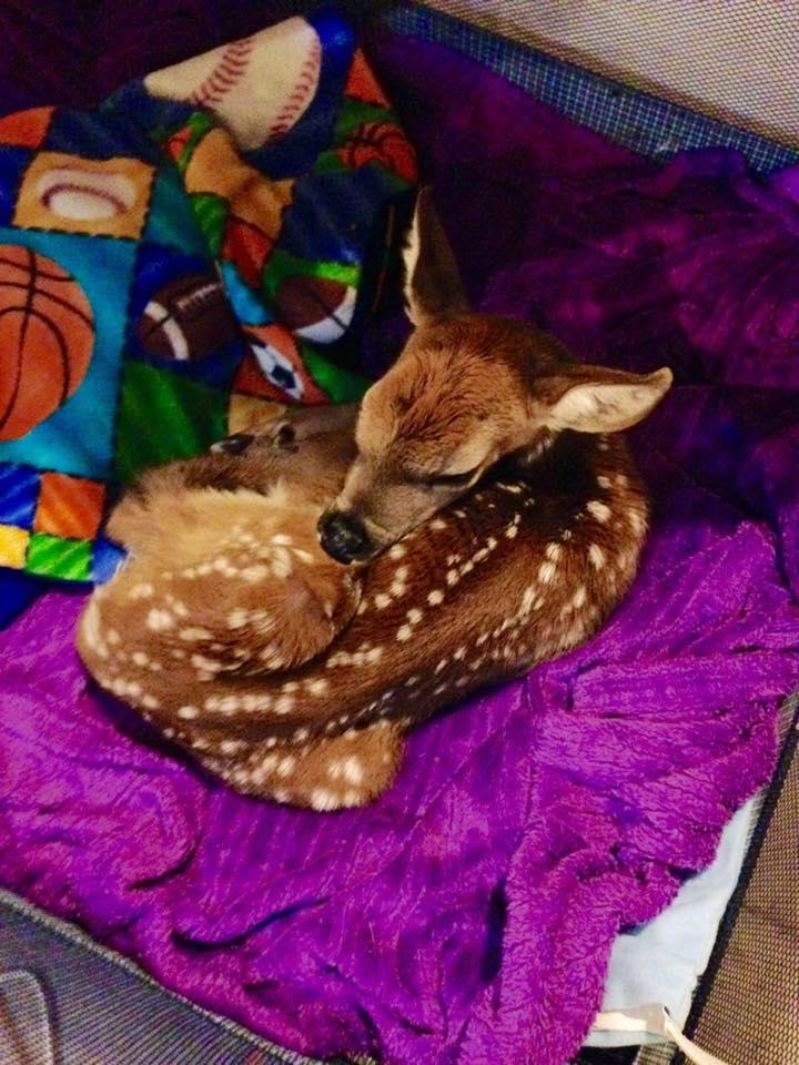 A genuinely orphaned fawn.  You can read the story below.