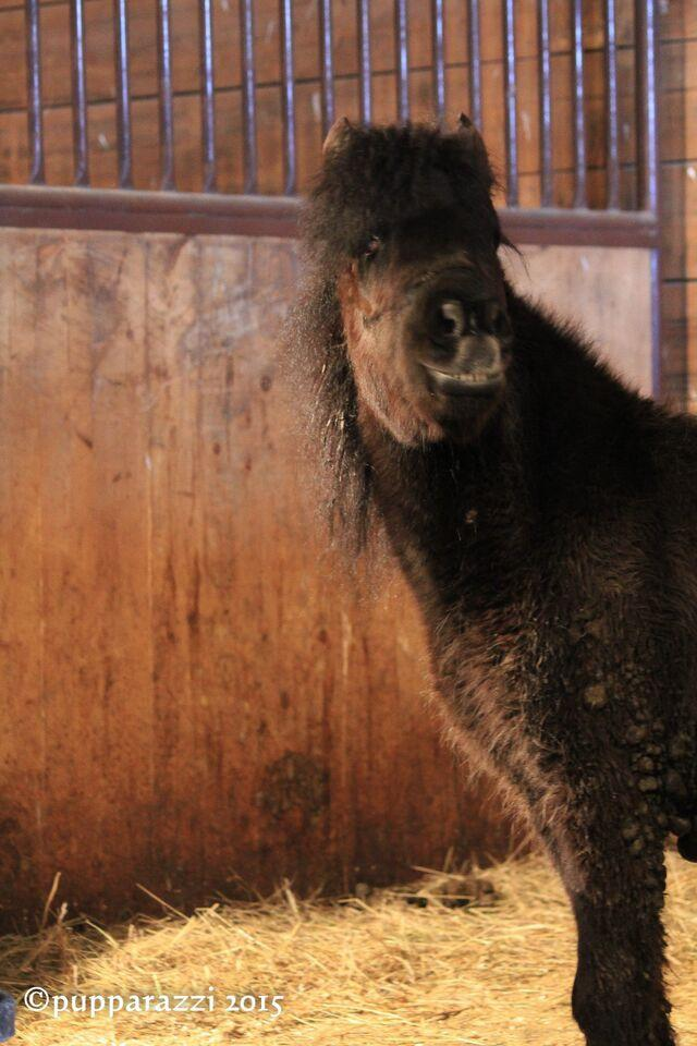 Blind Shetland pony. The day after they were rescued, she kept circling endlessly in her stall as though she were still tied up