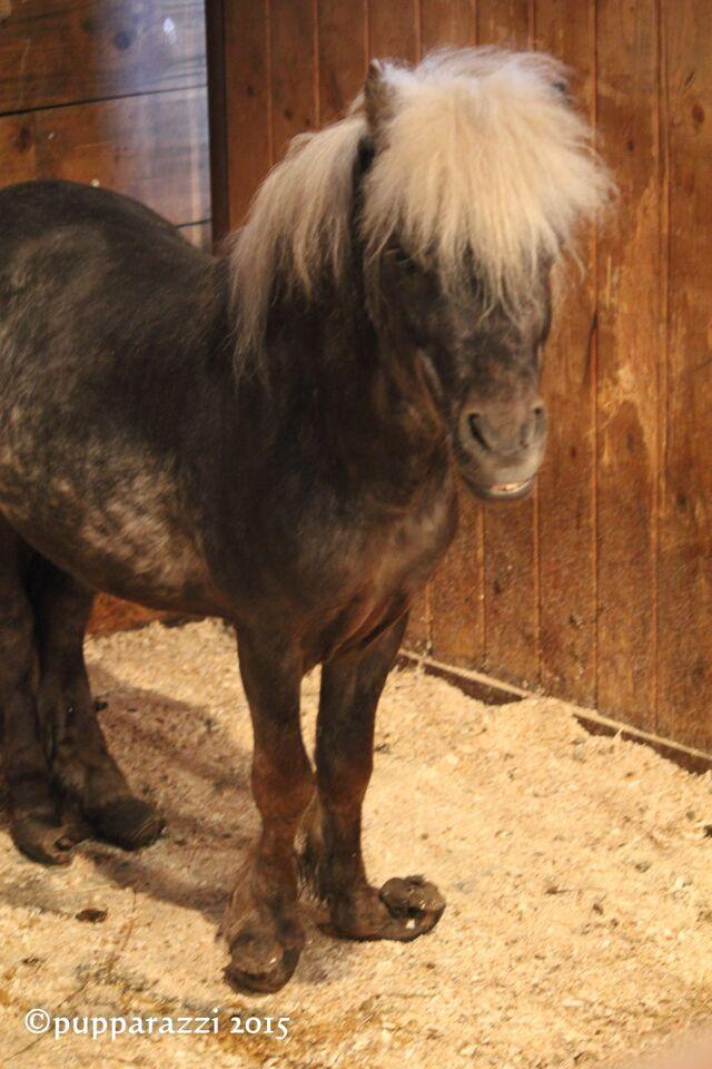 One of two Shetland ponies confiscated
