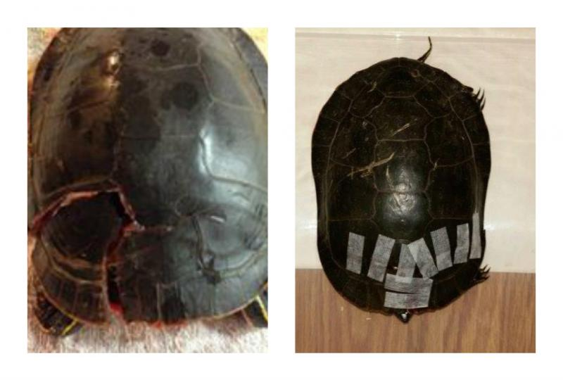 Painted turtle upon admission to Wildwoods; shell stablized with ster-strips preparatory to transport to Wildlife Rehabilitation Center in Roseville