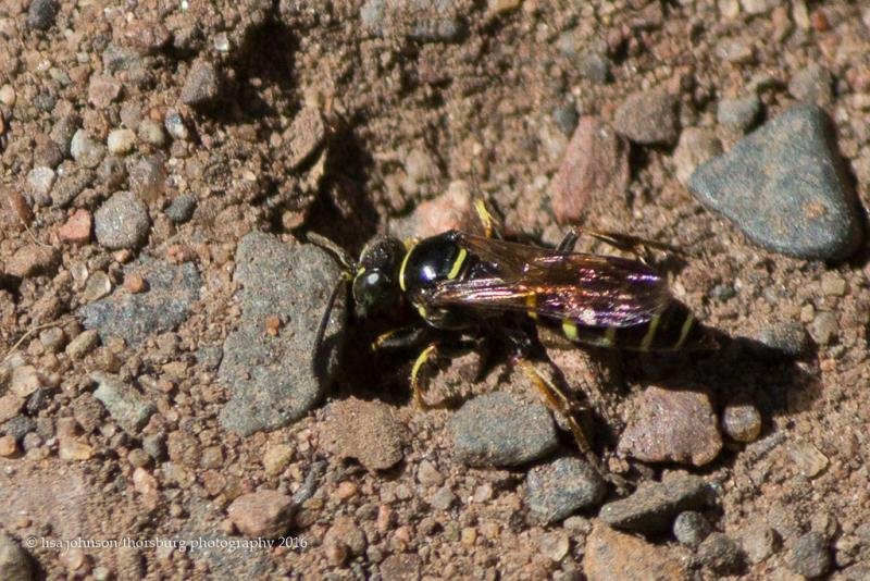 Aphilanthops frigidus? solitary wasp