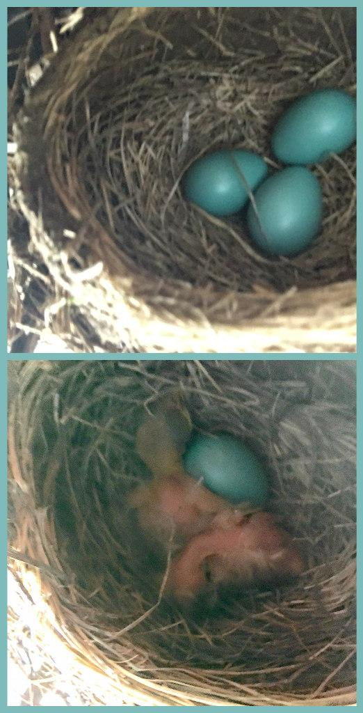 Bird eggs hatching