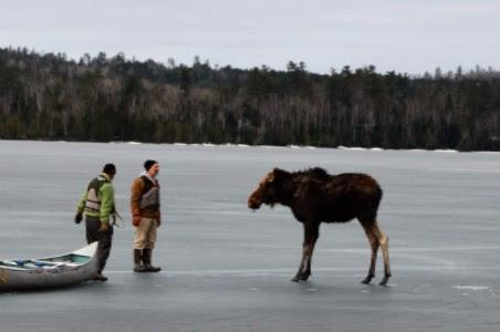 ep talk - Jim Morrison and Dave Seaton encouraging the rescued moose to head to shore