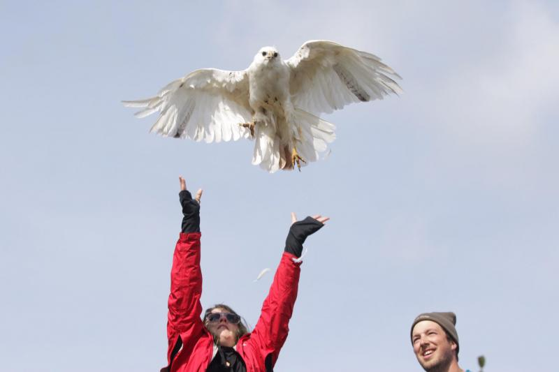 Kristina Dexter releases the hawk after banding