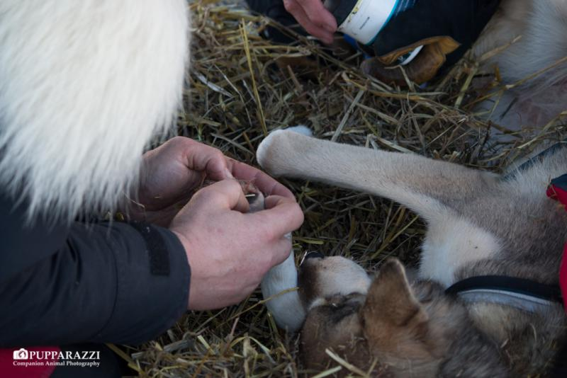 Along with regular vet checks, mushers and handlers check the team regularly