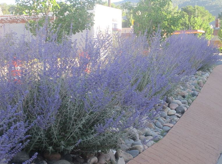 Landscaping With Russian Sage Garden design on Pinte...