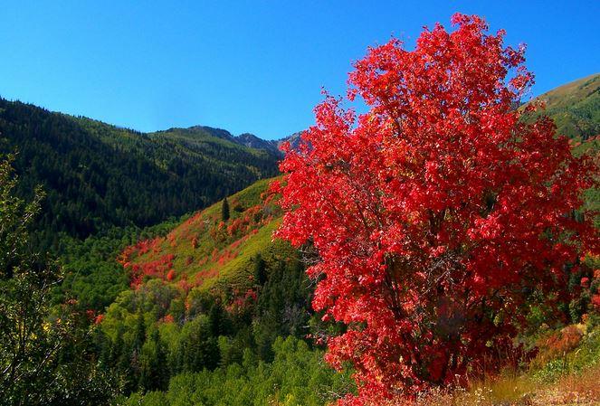 Bigtooth Maple: An Underutilized Colorado Native   KUNC