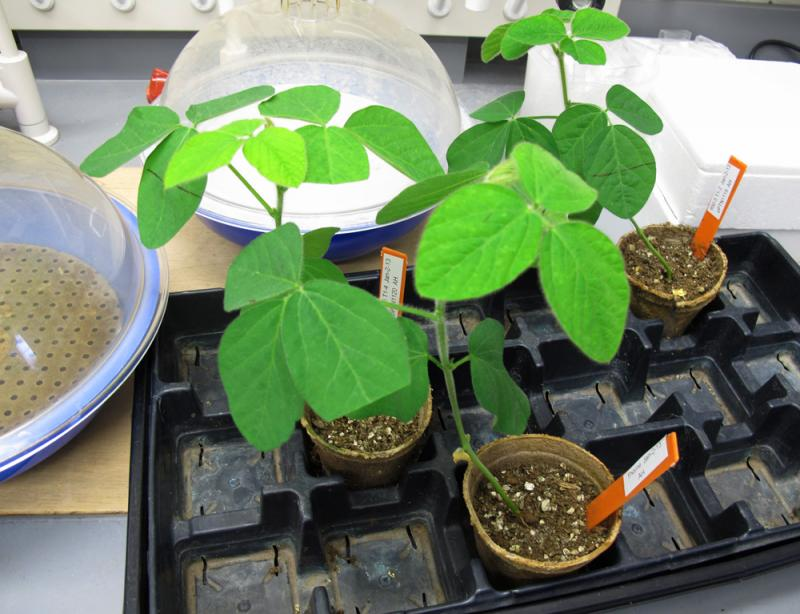These genetically modified soybeans are being tested for drought tolerance at the University of Nebraska Lincoln.