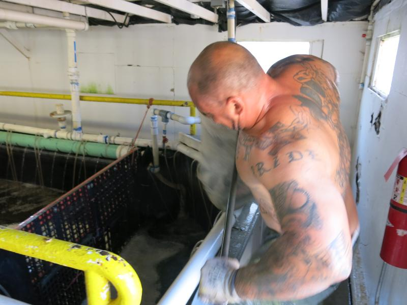 A prisoner at Four Mile Correctional Center in Cañon City, Colo. pulls a net full of tilapia out of the water for processing. This tilapia is then sold to Whole Foods markets across the Rocky Mountain region.