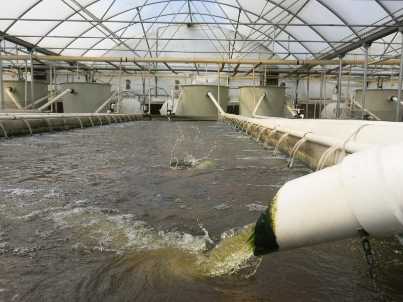 Tilapia splash around within one of the prison's greenhouses that house aquaculture projects.