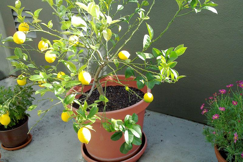 Among the citrus that grow well indoors: seedless limes, Meyer lemon and Washington navel oranges.