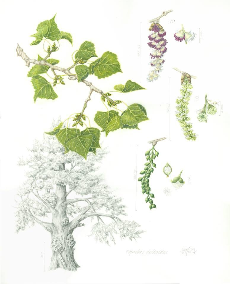 This illustration, by student Mary McCauley, shows the cottonwood tree in many different stages.