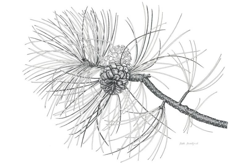 A pen and ink image of a Ponderosa pine by Beth Bradford, one of the 2014 graduates.