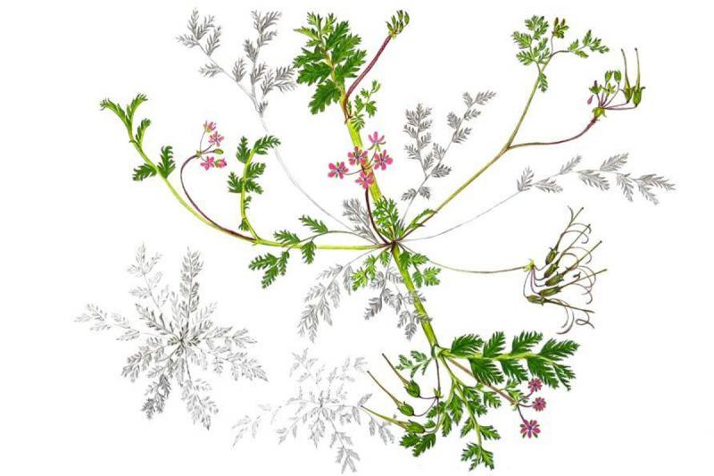 The school's drawings are used by organizations like the Colorado Department of Agriculture. This image of a noxious weed, by Tamara Burkert, can be used in educational materials.