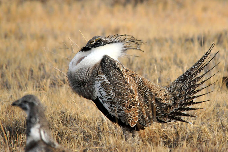 Greater sage grouse seen here on the Seedskadee National Wildlife Refuge in Wyoming.