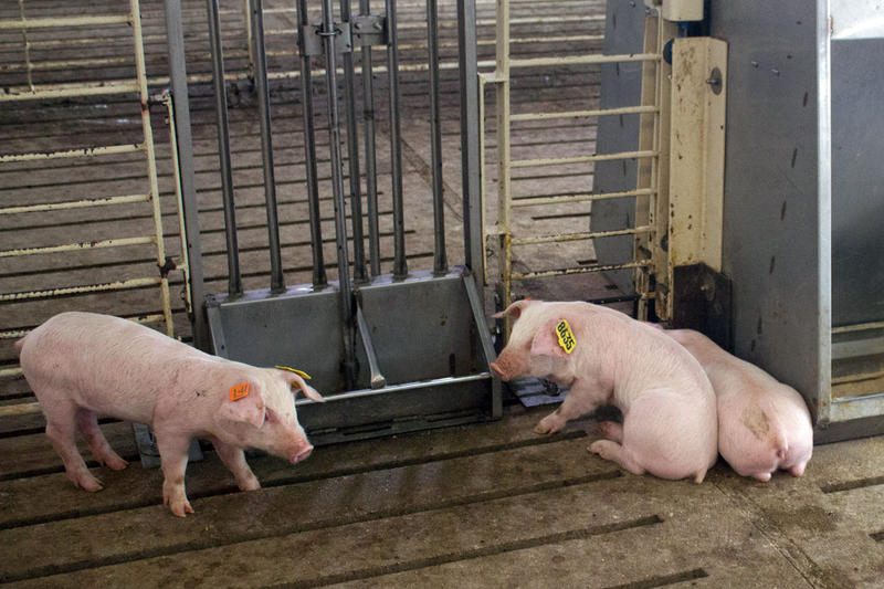 These four-week-old piglets are part of a study in researcher and hog farmer Gene Gourley's research barn in central Iowa.