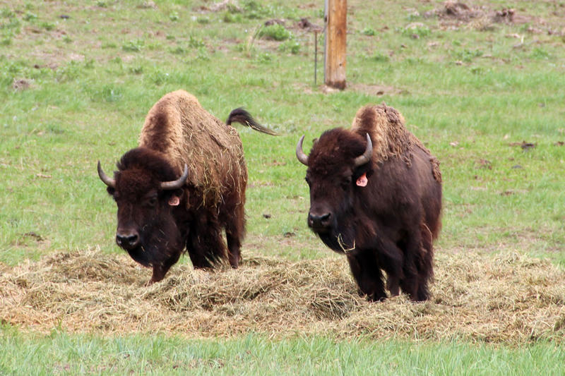 A pair of bison run in their enclosure at CSU's Foothills Campus.
