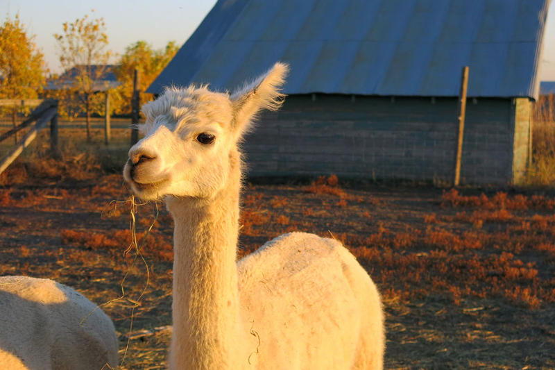 Following in the footsteps of ostriches, chinchillas and Dutch tulips, alpacas represent the latest in a long line of speculative agricultural bubbles.